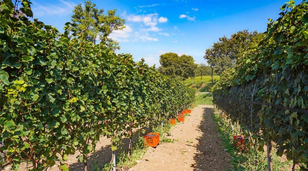 Bottenago vigne