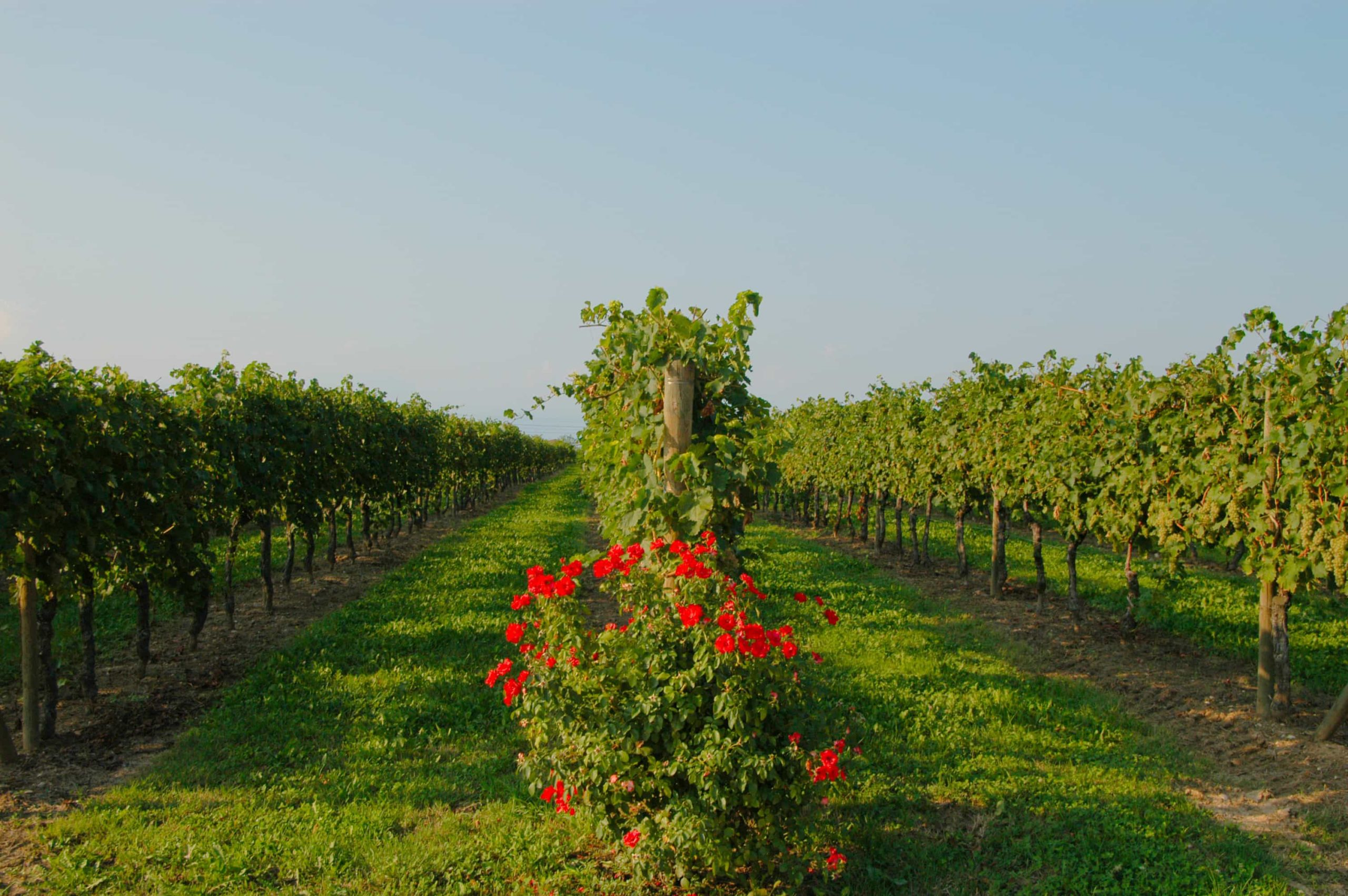 lugana-vineyard-1